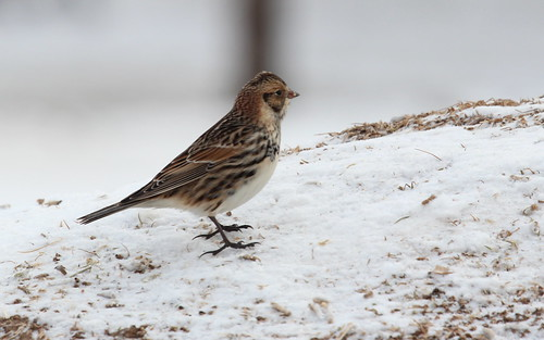 Lapland longspur by ricmcarthur