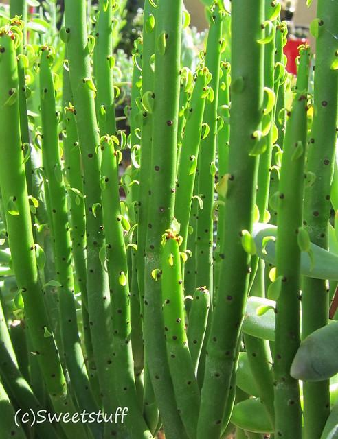 Euphorbia leucodendron 2