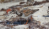 Ruddy Turnstone by fbc57