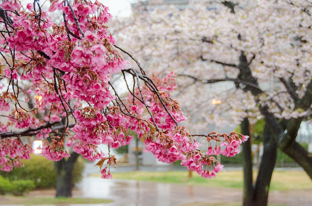 Cherry Blossoms In Japan And Spring Colors Around The