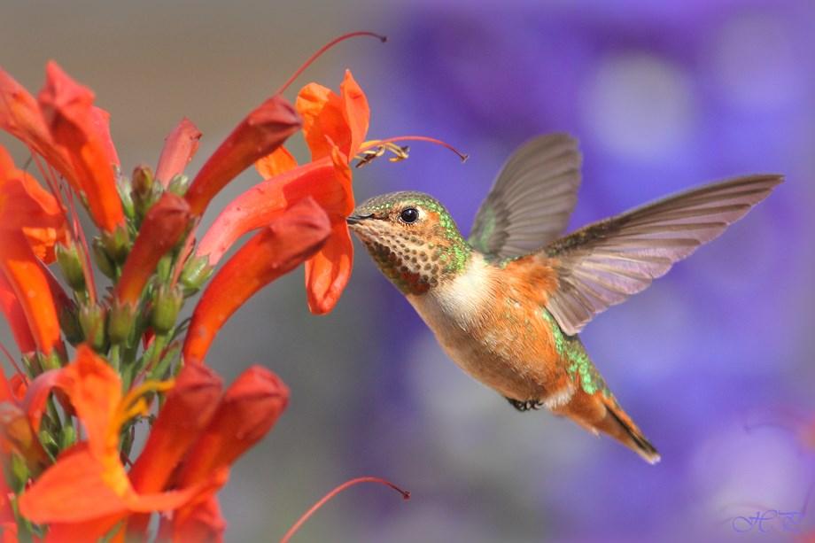 Allan's Hummingbird 032214-2
