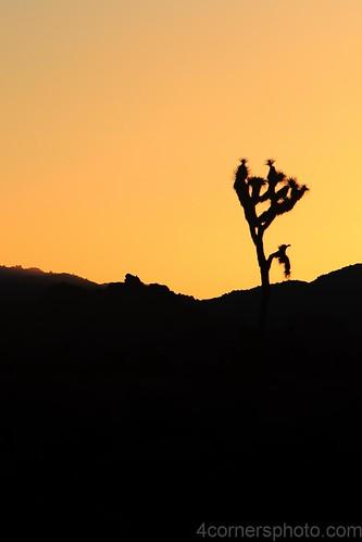 california sky orange color tree silhouette vertical sunrise landscape scenery unitedstates joshuatree northamerica yucca mojavedesert yuccabrevifolia twentyninepalms joshuatreenationalpark sanbernardinocounty yuccapalm 4cornersphoto