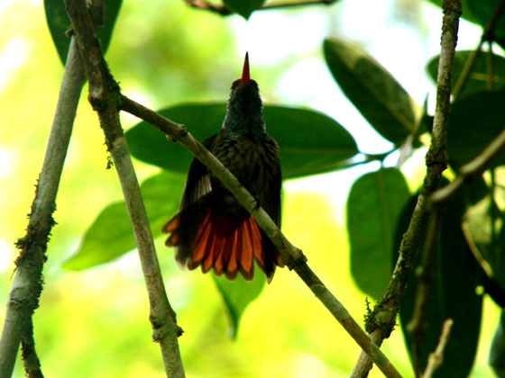 hummingbird-st-to-fly