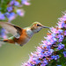 Allen's Hummingbird by Jerry Ting