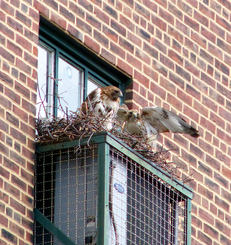Red tails on the nest