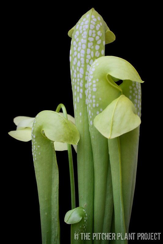 Sarracenia minor - Anthocyanin Free