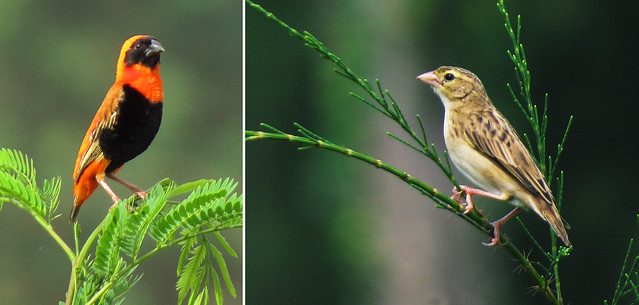 Southern Red Bishop - Male & Female