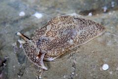 ウミフクロウ Pleurobranchaea maculata