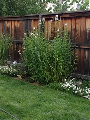 Obedient plant, almost six feet tall this year.