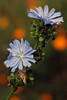 Wild Chicory Flowers by Foto Martien