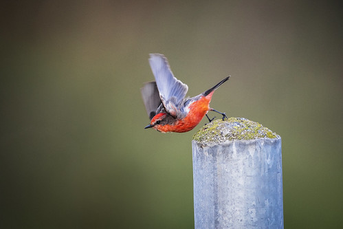 wildlife wildbirds birds flycatcher vermillion california nature vermillionflycatcher winner alt superior superb bokeh portrait flight action red green animal wildanimals birdwatching avian vermilion pyrocephalusrubinus