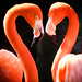 Flamingos with Breeding Plummage by ronniegoyette