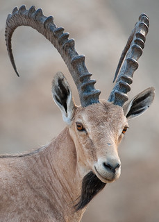 Nubian Ibex - The Dead Sea