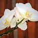Orquídea by Tony_nho