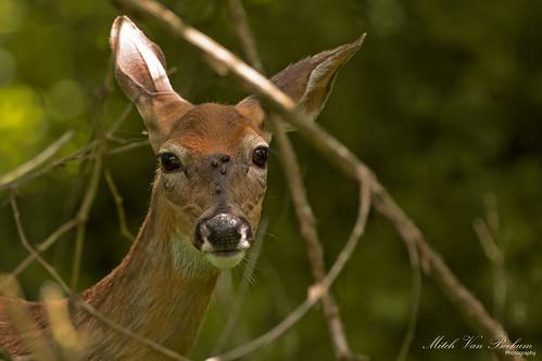 nature wildlife nj deer whitetailed whitetaileddeer hackettstown canon5dmkiii canonef500mmf4is charlesohayfordhatchery canon14teleconvertermkiii