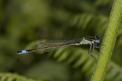 HolderBlue tailed Damselfly^