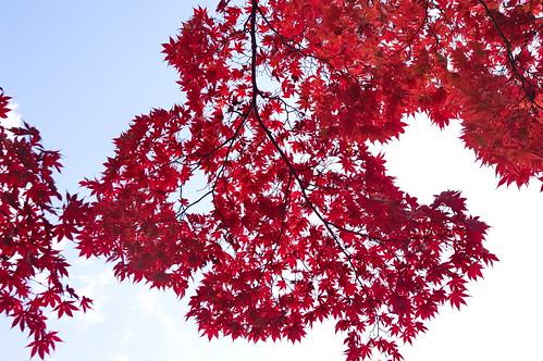 【写真】2012 紅葉 : 光明寺/2020-11-11/IMGP6513