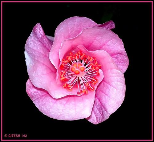 Pink Hibiscus ( जास्वंद )