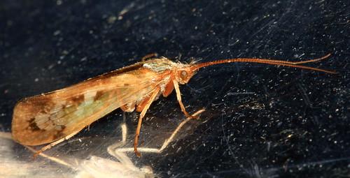 Trichoptera 21599