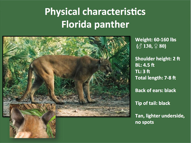 panther habitat map with 9510464042 on Amur Leopard as well Floridageography as well Mountain Lions 2 additionally Black Panther Myths And Facts in addition So as it turns out critically endangered amur.