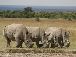 The African white rhino