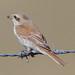 Small photo of Red-backed Shrike (Lanius collurio)