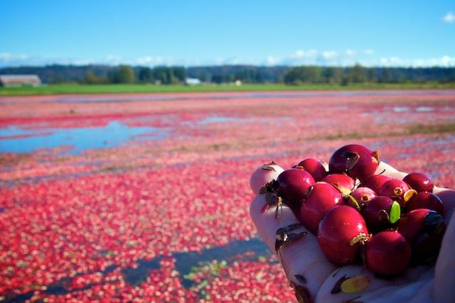 Cranberry Bog in Langley
