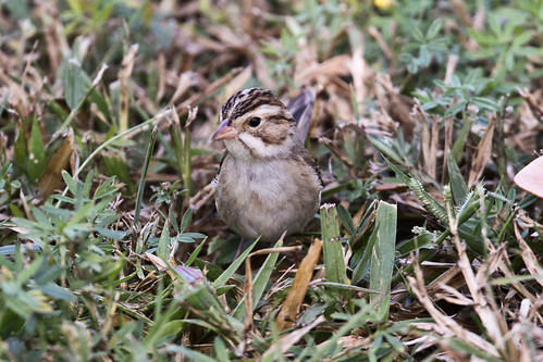 Clay-colored Sparrow 1113FL-1