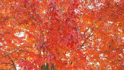 Red-orange leaves