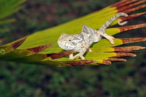 African Chamelion, Chamaeleo africanus, Zimbabwe
