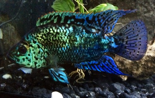 Electric blue jack dempsey fish for Jack dempsey fish