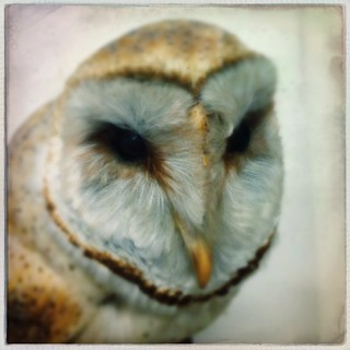 Stuffed Barn Owl