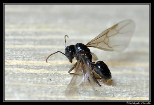 Lasius fuliginosus mâle