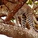 Leopard, Panthera pardus by Peet van Schalkwyk
