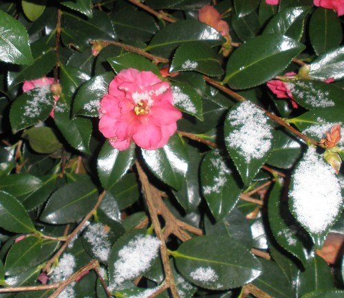 a camellia shrub in flower, with snow on the leaves and flowers