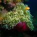 anemonefish & anemone by gapowell