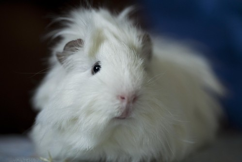 Guinea Pig by ScottishSerenity