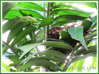 Bird's nest of Pycnonotus goiavier (Yellow-vented Bulbul), 26 Dec 2013
