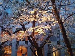 2011年4月8日・高輪プリンスホテル・桜