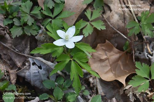 Wood Anemone, Nightcaps, Twoleaf Anemone - Anemone quinquefolia