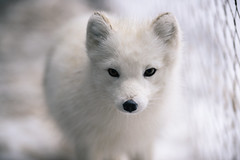 Arctic Fox Camoflauged