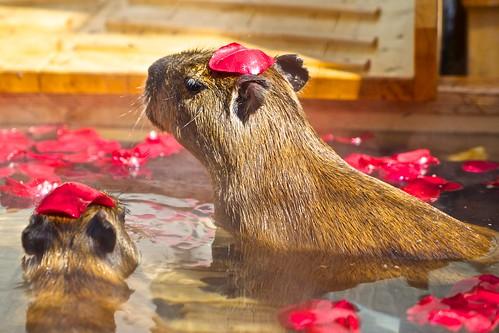 Capybara / Suzakashi Zoo