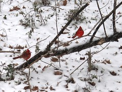 Two Red, Cold Cardinals