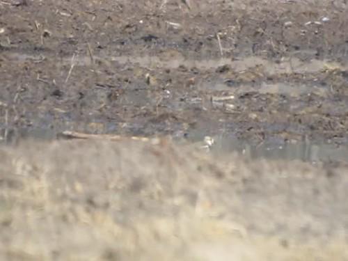 georgia rebecca lapwing northern northernlapwing byrd 2013