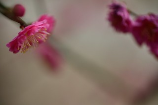 The flower of plum in Fukushima Tenjin Shinto Shrine No.1.