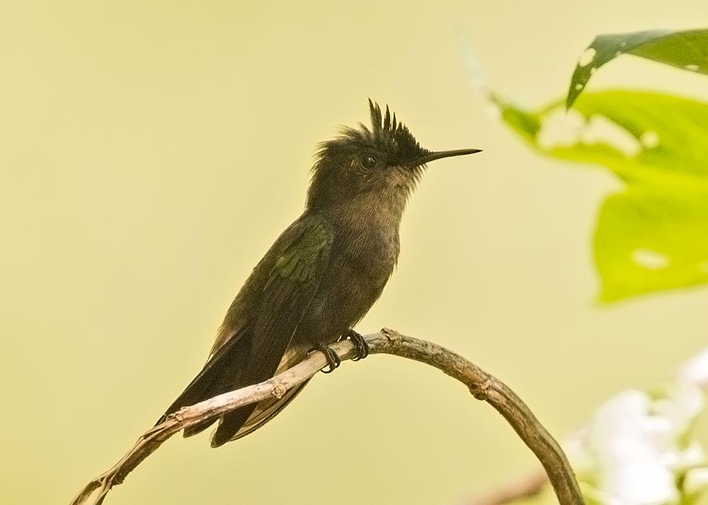 Antillean Crested Hummingbird 2014-02-04