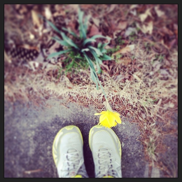 YAY! First full-sized daffodil! #signsofspring #foundwhilerunning