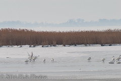 water bird, goose, arctic, winter, tundra, snow, crane-like bird, crane, bird, wildlife,