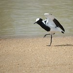 Black Smith Lapwing - South Africa