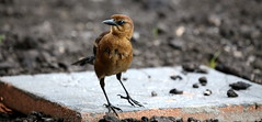COMMON BOAT-TAILED GRACKLE